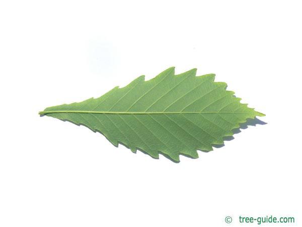 mongolian oak (Quercus mongolica) leaf underside