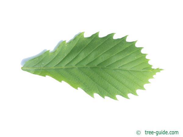 mongolian oak (Quercus mongolica) leaf