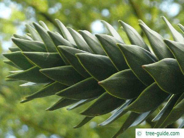monkey tail tree (Araucaria araucana) needle