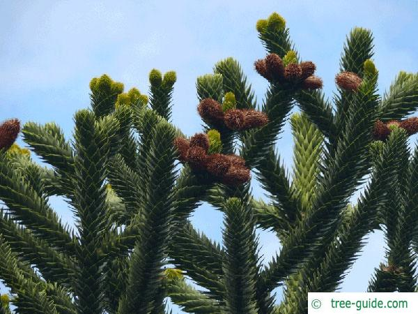 monkey tail tree (Araucaria araucana) flower / cones