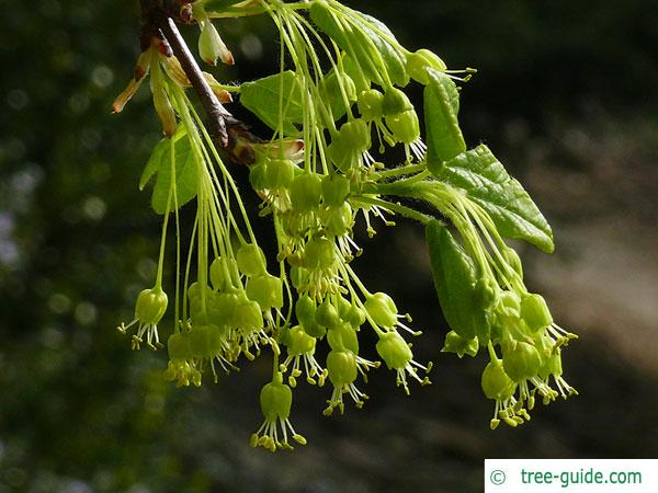 montpellier maple (Acer monspessulanum) blossom