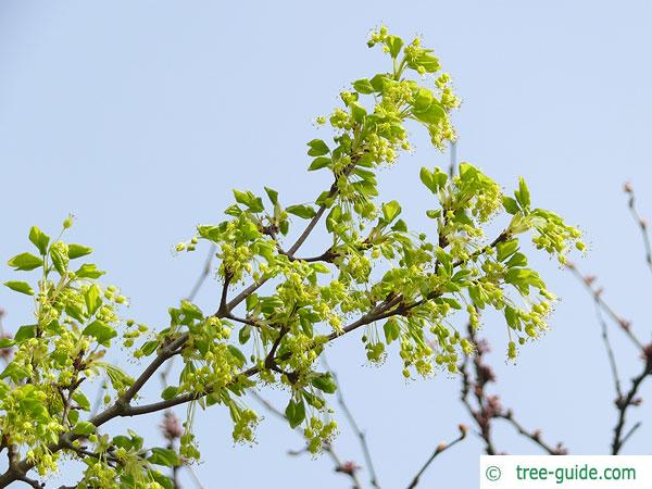 montpellier maple (Acer monspessulanum) flowers