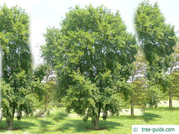 montpellier maple (Acer monspessulanum) tree in summer