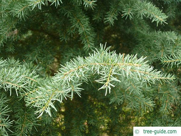 mountain pine (Tsuga mertensiana) branches
