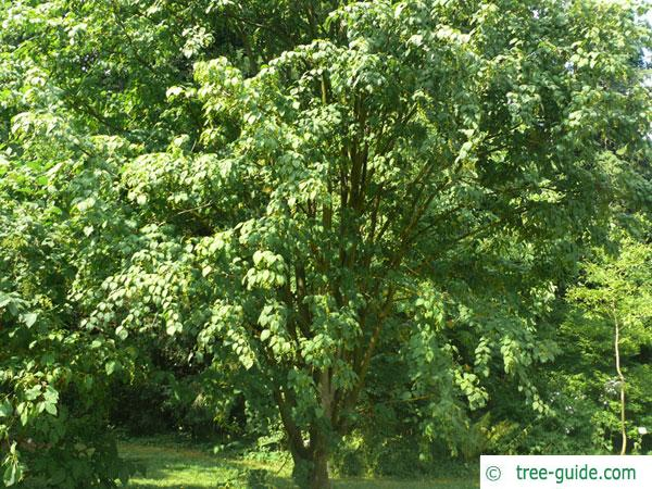 mountain maple (Acer spicatum) tree in summer