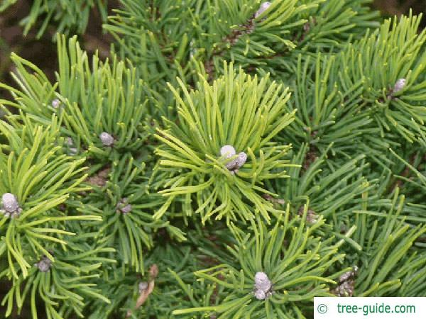 mountain pine (Pinus mugo) branches