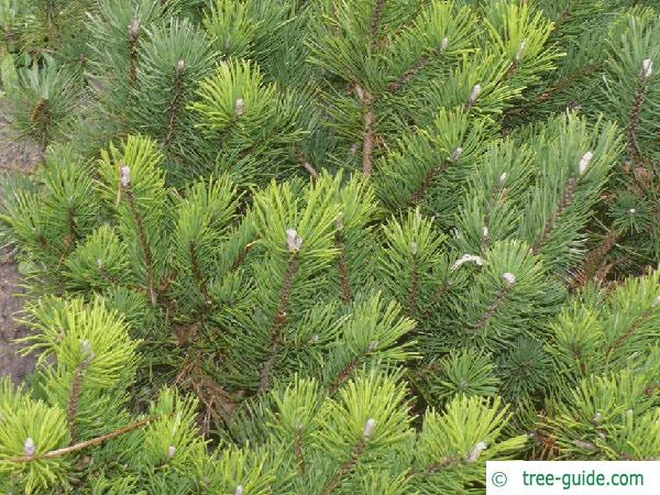 mountain pine (Pinus mugo) tree