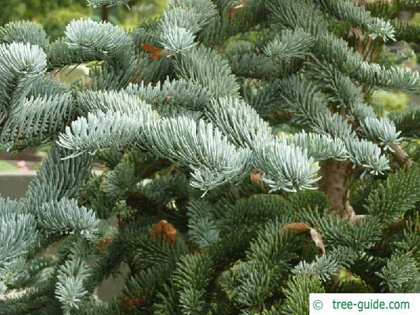 noble fir (Abies procera) branches