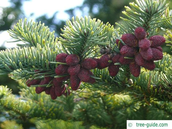 Noble Fir (Abies procera) cones