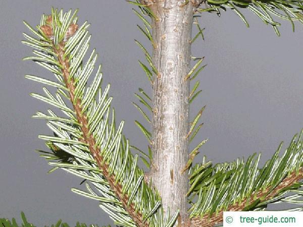 nordmann fir (Abies nordmanniana) branch