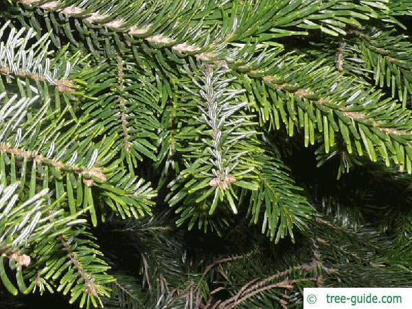 nordmann fir (Abies nordmanniana) branches