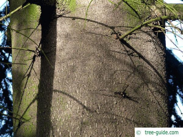 nordmann fir (Abies nordmanniana) trunk