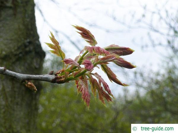 northern red oak (Quercus rubra) budding