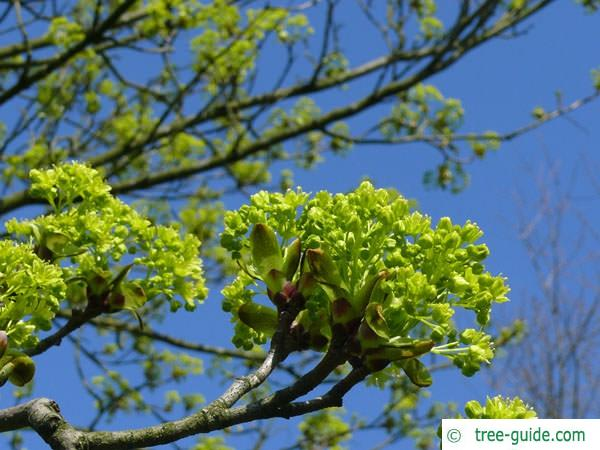 norway maple (Acer platanoides) yellow flowers
