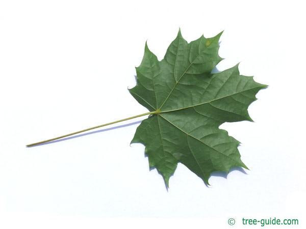 norway maple (Acer platanoides) leaf underside