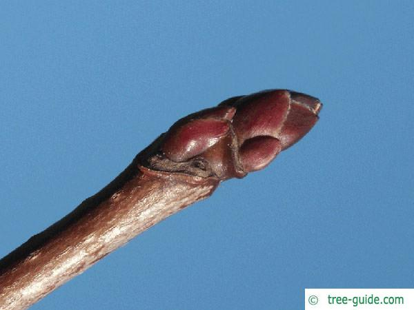 norway maple (Acer platanoides) terminal bud