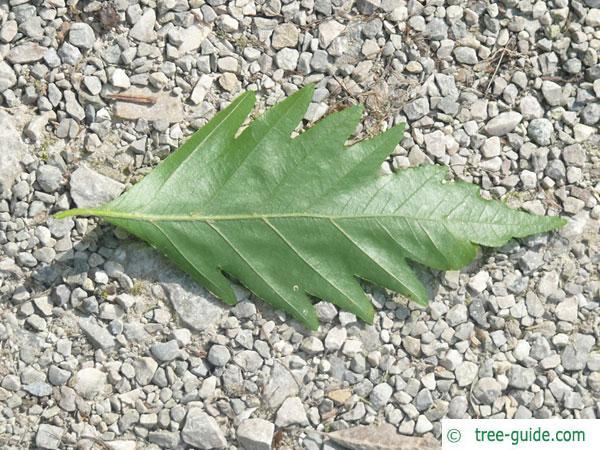 oak leaved beech (Fagus sylvatica 'Quercifolia') leaf underside