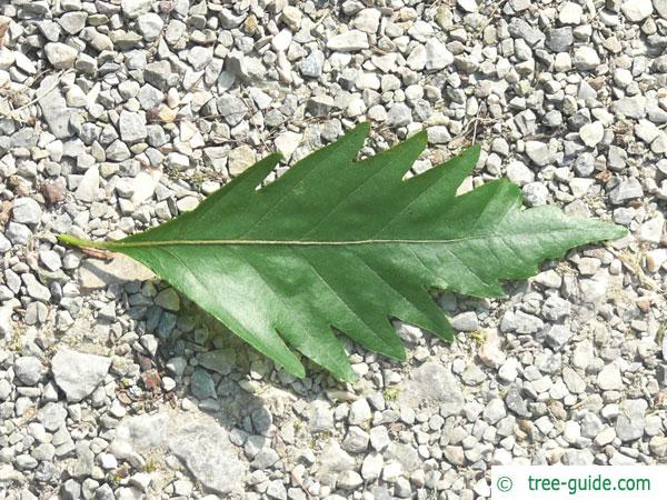oak leaved beech (Fagus sylvatica 'Quercifolia') leaf