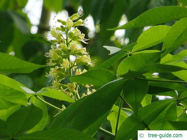 ohio buckeye (Aesculus glabra) flower