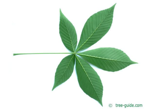 ohio buckeye (Aesculus glabra) leaf underside