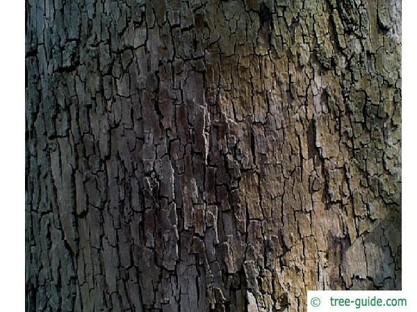 oriental plane tree (Platanus orientalis) trunk / bark