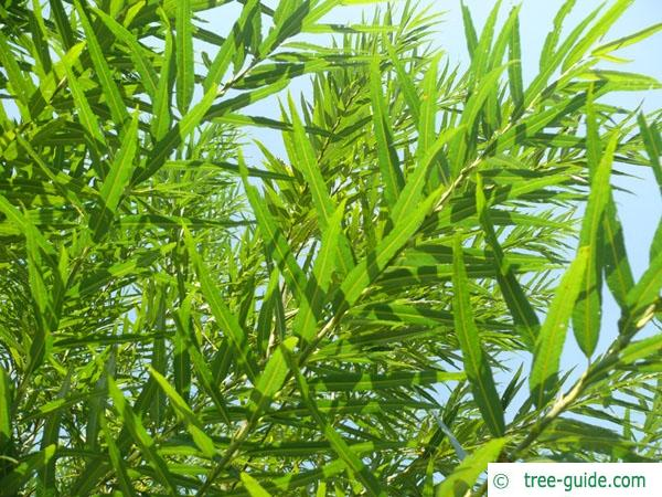 common osier (Salix viminalis) leaves