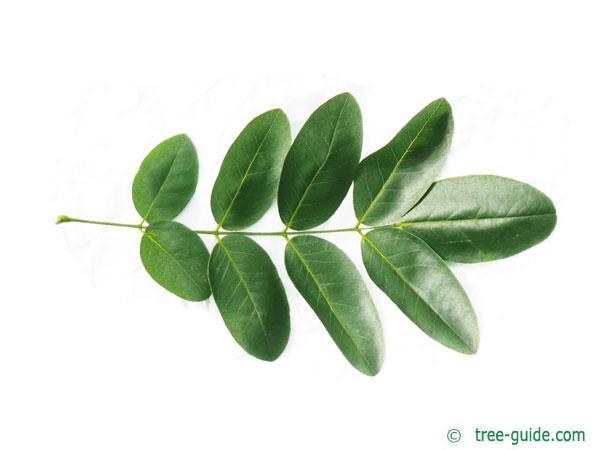 pagoda tree (Styphnolobium japonicum) leaf