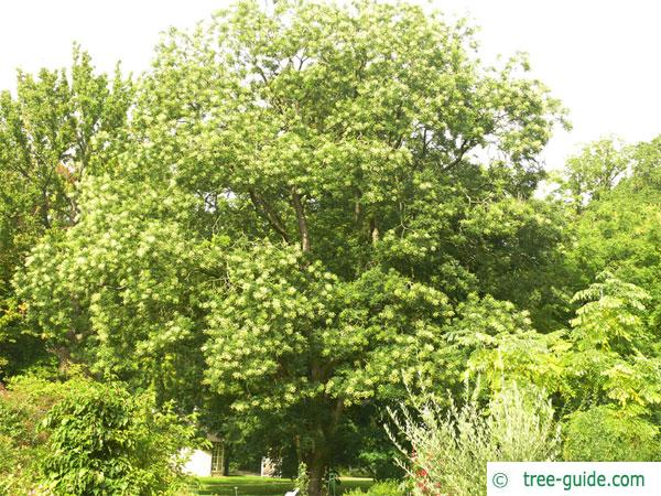 pagoda tree (Styphnolobium japonicum) tree