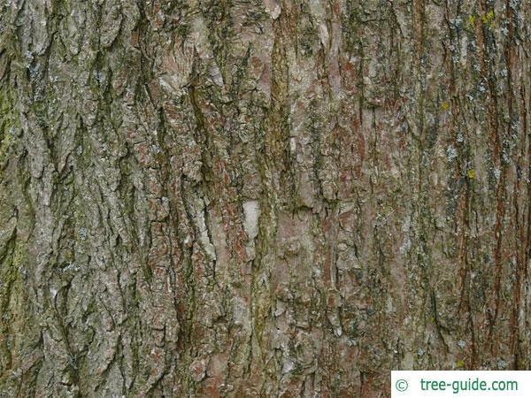 pagoda tree (Styphnolobium japonicum) trunk / bark