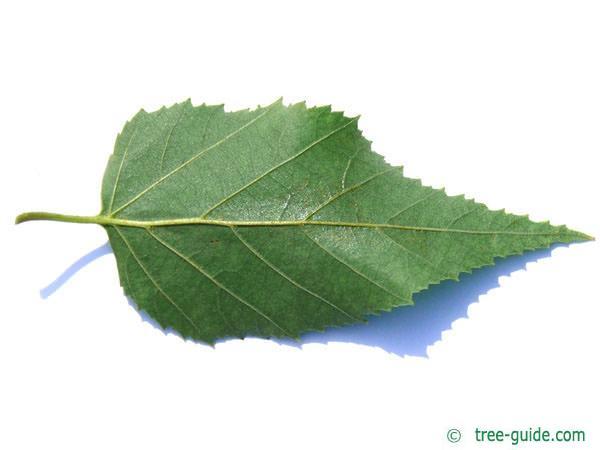 paper birch (Betula papyrifera) leaf underside