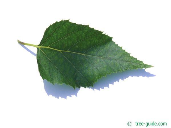 paper birch (Betula papyrifera) leaf