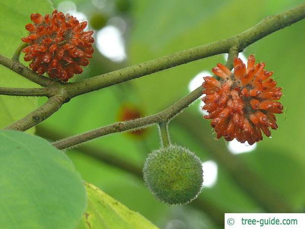 paper mulberry (Broussonetia papyrifera) stone fruits