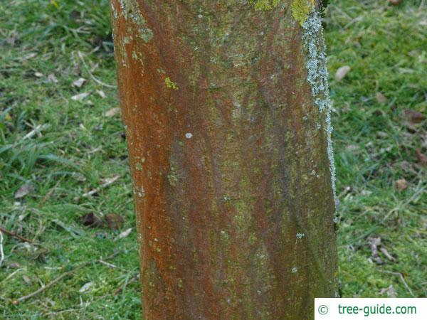 paper mulberry (Broussonetia papyrifera) brown-reddish bark