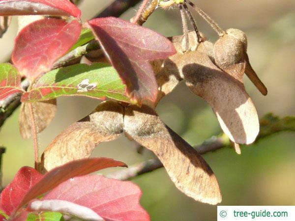 paperbark maple (Acer griseum) fruits in fall