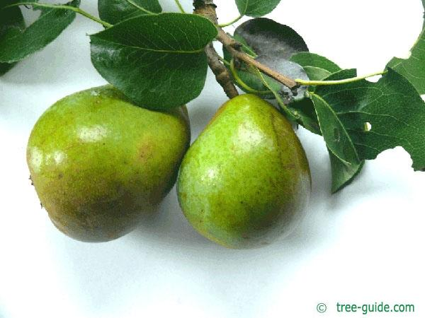 pear (Pyrus communis) pear / fruit