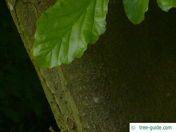 persian ironwood (Parrotia persica) trunk / bark
