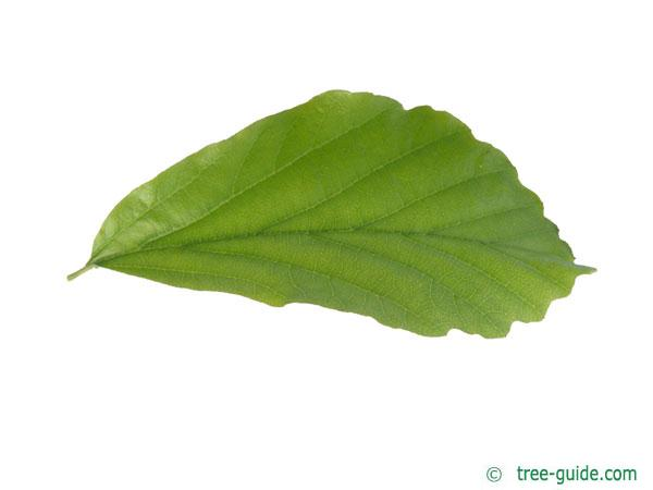 persian ironwood (Parrotia persica) leaf