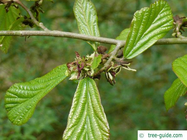 persian ironwood (Parrotia persica) shoots after flowering