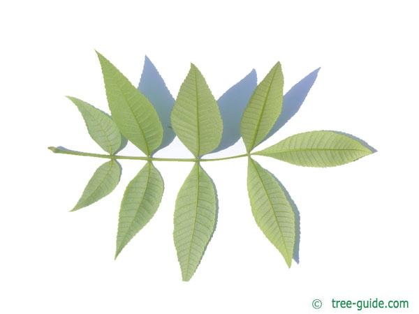 pignut (Carya glabra) leaf underside