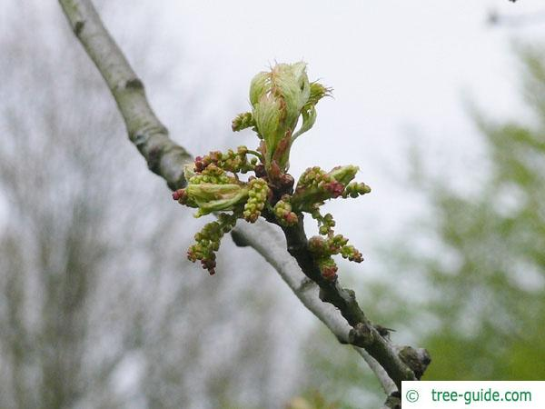 pin oak (Quercus palustis) budding in spring