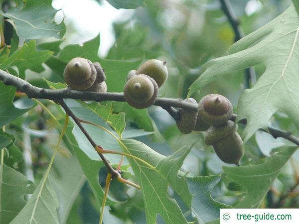 pin oak (Quercus palustis) fruit / acorn