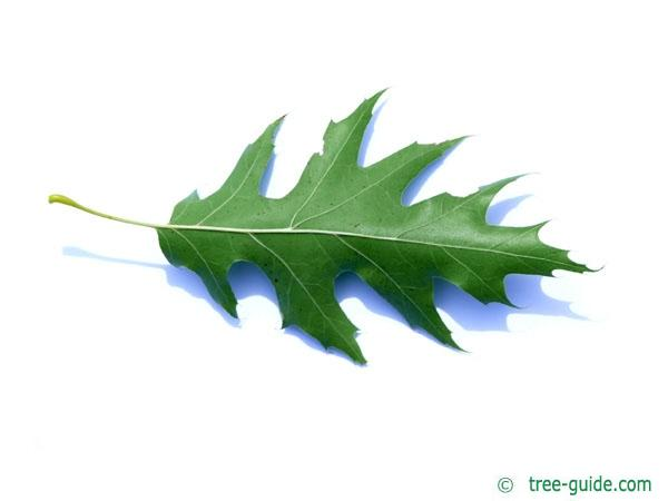 pin oak (Quercus palustis) leaf underside