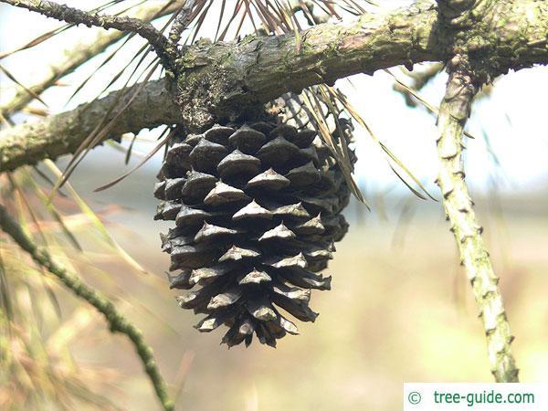 pitch pine (Pinus rigida) cone