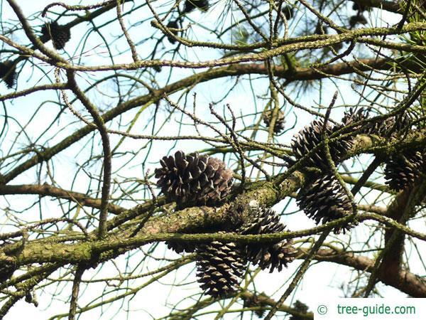 pitch pine (Pinus rigida) cones
