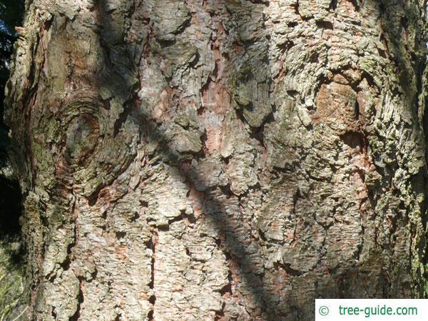ponderosa pine (Pinus ponderosa) trunk / bark