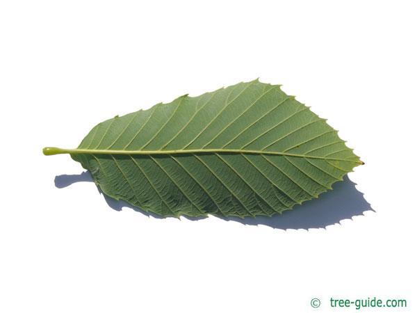 pontine oak (Quercus pontica) leaf underside