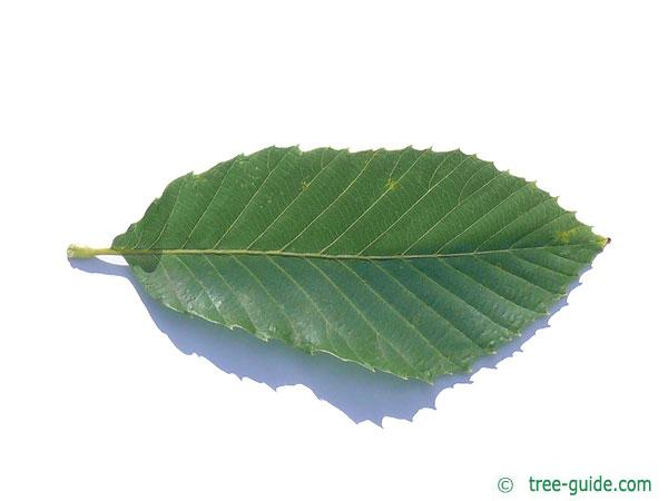 pontine oak (Quercus pontica) leaf