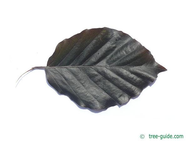 purple fastigiate beech (Fagus sylvatica 'Dawyck Purple') leaf
