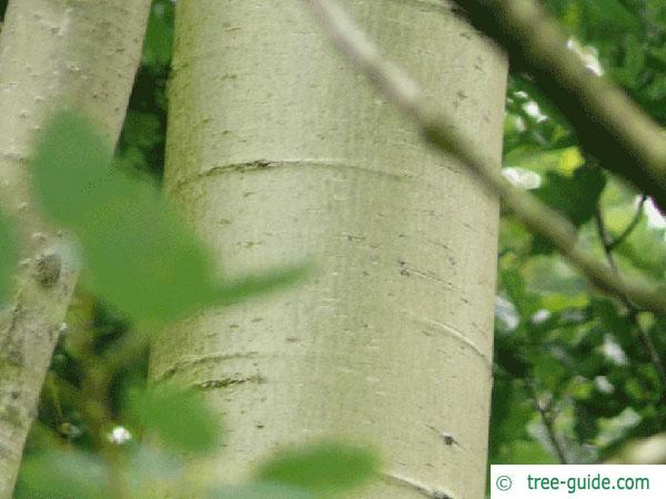 quaking aspen (Populus tremula) trunk / bark