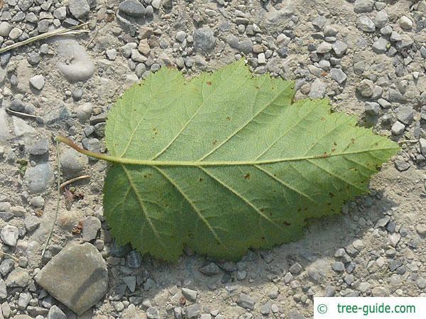 quebec hawthorn (Crataegus submollis) leaf underside